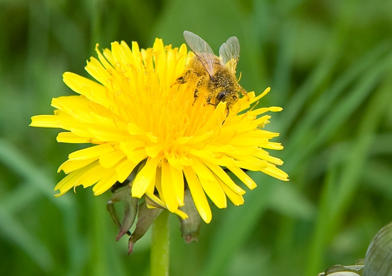 abeja en la flor.jpg