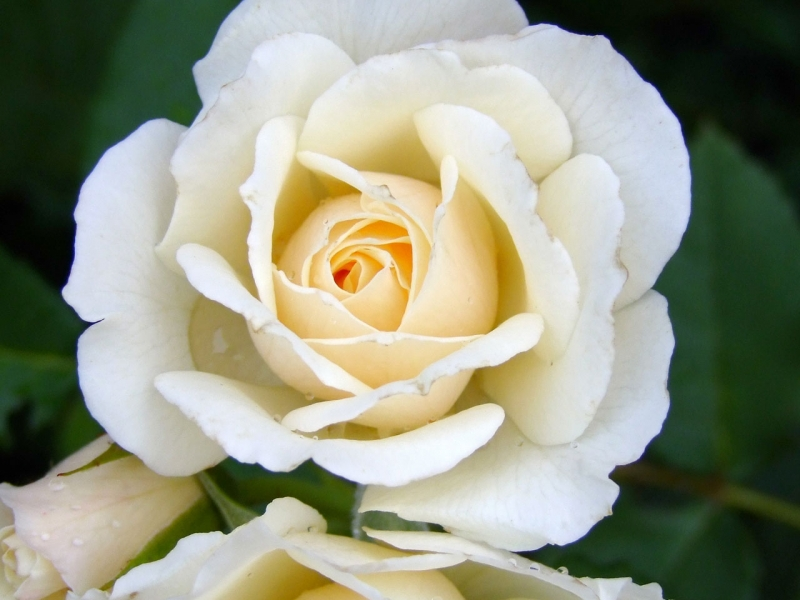 rosa blanca.jpg