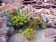seasideflower.jpg